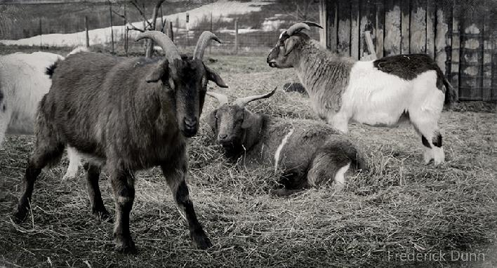 Tennessee Fainting Goats at Fred's Fine Fowl
